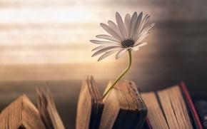 Картинка цветок, фон, книги