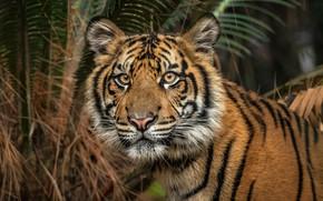 Картинка взгляд, морда, листья, природа, тигр, пальма, фон, темный, портрет