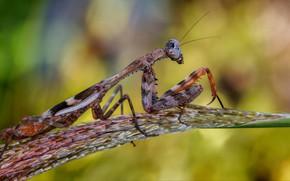 Картинка макро, богомол, насекомое