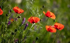 Картинка лето, цветы, маки, красные, былинки