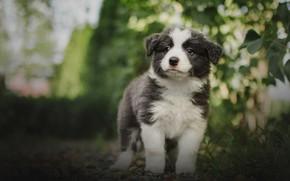 Картинка зелень, лето, взгляд, собака, малыш, щенок, боке, аусси