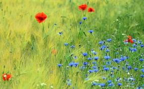 Картинка зелень, поле, лето, цветы, поляна, рожь, маки, луг, голубые, красные, колосья, злаки, много, васильки, ржаное …