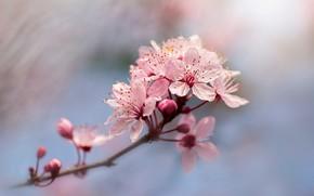 Картинка цветы, вишня, размытие, ветка, весна, сакура, розовые, цветение, голубой фон