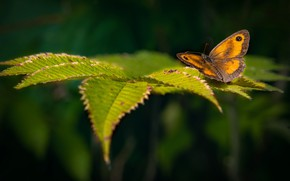 Картинка зелень, листья, природа, бабочка, жёлтая, боке, Rotbraunes Ochsenauge, Gatekeeper