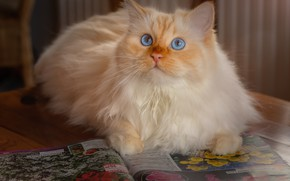 Картинка кошка, кот, журнал