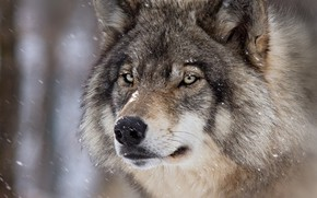Картинка зима, взгляд, морда, снег, крупный план, серый, фон, волк, шерсть, снегопад
