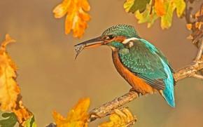 Картинка осень, листья, птица, рыбка, ветка, добыча, зимородок