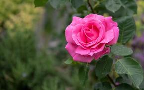 Картинка фон, роза, куст
