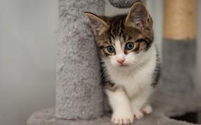 Картинка кошка, поза, котенок, малыш, котёнок, пятнистый, голубоглазый, когтеточка, серый с белым