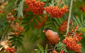 Картинка осень, листья, ветки, ягоды, птица, клюв, ягода, плоды, красные, корм, снегирь, зеленый фон, рябина, гроздья, …