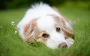 Картинка трава, взгляд, морда, собака, клевер, Австралийская овчарка, Аусси