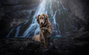 Обои взгляд, природа, поза, камни, скалы, лапа, водопад, собака, бордер-колли