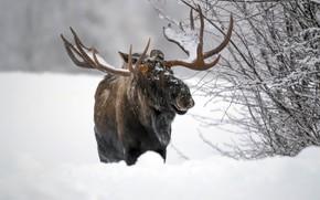 Картинка зима, снег, лось