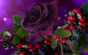 Картинка ягоды, роза, красиво, бордовая