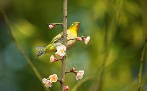Картинка цветы, ветки, птица, красота, размытие, весна, сакура, птичка, цветение, зеленый фон, желтая, боке, японская белоглазка