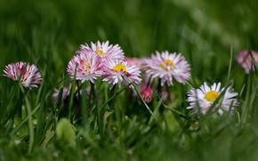 Картинка трава, весна, дача, маргаритки