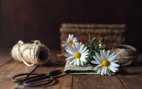 Картинка цветок, ромашка, ножницы