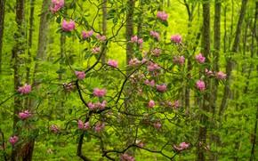 Картинка лес, деревья, Babcock State Park, цветки, рододендрон, West Virginia, Западная Виргиния, Парк Бэбкок