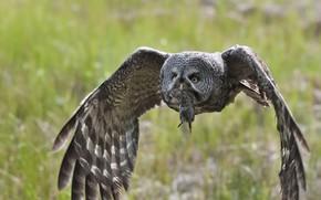 Картинка птица, охота, Great Grey Owl