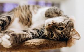Картинка кошка, кот, взгляд, мордочка, лапка, котейка