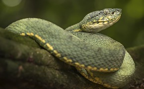 Картинка природа, змея, зелёная, рептилия, хладнокровное животное