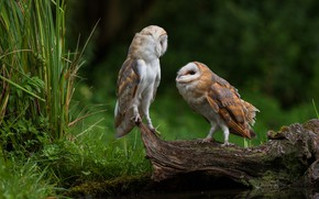 Обои трава, взгляд, птицы, природа, фон, сова, птица, две, пара, коряга, совы, парочка, дуэт, водоем, сипуха, ...