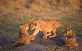 Картинка природа, игра, три, малыши, львята, трио, львенок, львёнок, три львенка