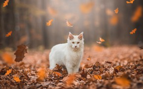 Картинка осень, лес, кошка, белый, кот, взгляд, листья, свет, природа, парк, листва, желтые, стоит, мордашка, листопад, …