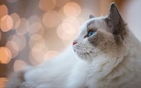 Картинка кошка, белый, кот, взгляд, морда, фон, портрет, светлый, лежит, профиль, голубые глаза, боке, рэгдолл