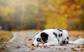 Картинка дорога, грусть, осень, взгляд, листья, природа, поза, парк, фон, настроение, листва, черно-белая, собака, желтые, лежит, …