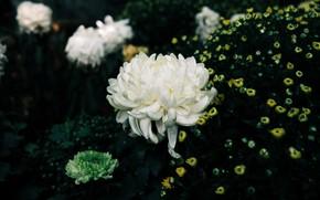 Картинка цветы, темный фон, желтые, сад, белые, цветочки, клумба, кусты, хризантемы