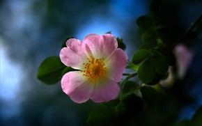 Картинка цветок, листья, макро, природа, ветка, шиповник