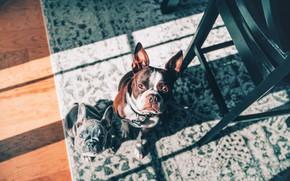 Картинка взгляд, ковёр, щенок, две собаки, мордашки, Французский бульдог, Бостон-терьер