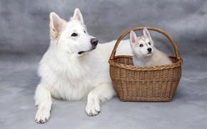 Картинка собаки, собака, малыш, пара, щенок, лежит, белая, белые, серый фон, корзинка, фотосессия, порода, две собаки, …