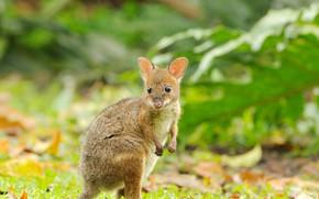 Обои Австралия, детёныш, Квинсленд, обожжённый кенгуру, красноногий филандер