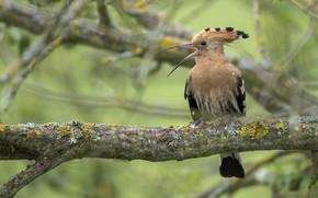 Картинка дерево, удод, птица