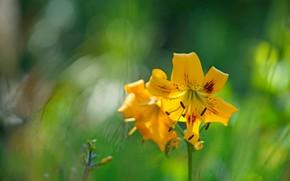 Картинка цветы, лилии, размытие, желтые, лепестки, сад, тычинки, зеленый фон, боке