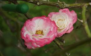 Картинка макро, розы, лепестки, дуэт