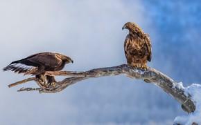 Картинка зима, взгляд, снег, птицы, природа, поза, орел, две, ветка, пара, орёл, орлы, два, голубой фон, …