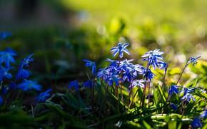 Картинка трава, свет, цветы, поляна, весна, синие, пролеска
