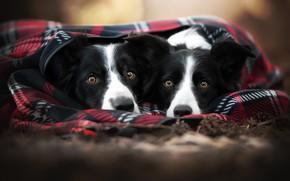 Картинка осень, собаки, взгляд, уют, тепло, две, портрет, пара, плед, парочка, дуэт, морды, черно-белые, две собаки, …