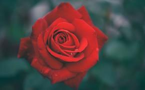Картинка капли, фон, роза, лепестки, бутон, красная