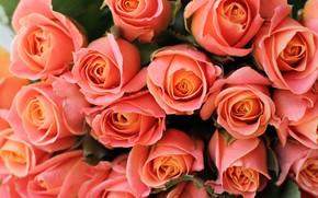 Картинка розы, букет, оранжевые, бутоны, много, лососевые