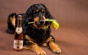 Картинка цветок, морда, жёлтый, фон, вино, тюльпан, бутылка, собака, лапы, лежит, на полу, ретривер