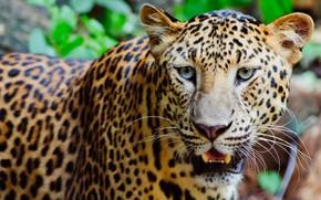 Обои взгляд, морда, фон, портрет, пасть, леопард, дикая кошка, красавец