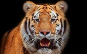 Картинка тигр, фон, зверь
