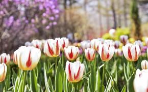 Картинка цветы, весна, тюльпаны, полосатые