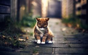 Картинка осень, кот, боке