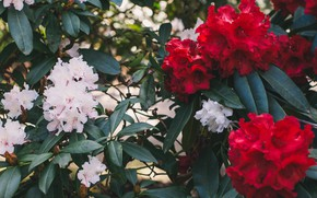 Картинка цветение, рододендроны, Elvira Zakharova