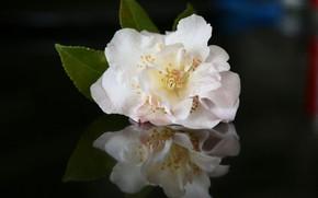 Картинка цветок, фон, лепестки, камелия